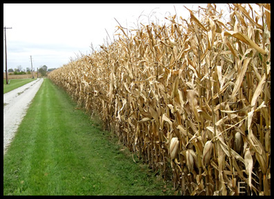 corn fields as far as the eye can see